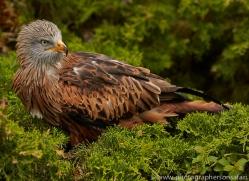 Red Kite 2014-1copyright-photographers-on-safari-com