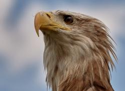 bald-eagle-copyright-photographers-on-safari-com-8233