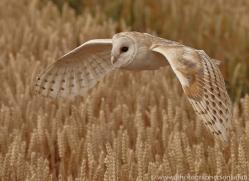 barn-owl-copyright-photographers-on-safari-com-8243