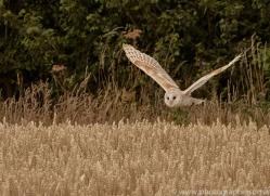 barn-owl-copyright-photographers-on-safari-com-8246
