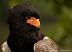 bateleur-eagle-562-bedford-copyright-photographers-on-safari-com