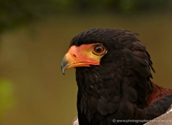 bateleur-eagle-564-bedford-copyright-photographers-on-safari-com