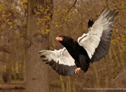 bateleur-eagle-565-bedford-copyright-photographers-on-safari-com