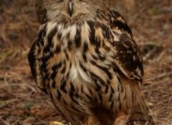 eagle-owl-copyright-photographers-on-safari-com-8279