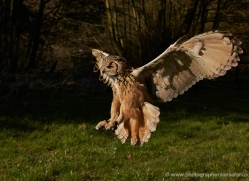 european-eagle-owl-569-bedford-copyright-photographers-on-safari-com