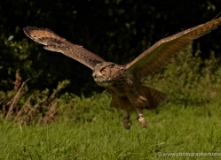 european-eagle-owl-571-bedford-copyright-photographers-on-safari-com