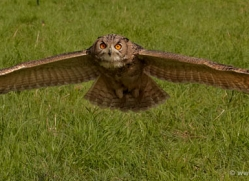 european-eagle-owl-572-bedford-copyright-photographers-on-safari-com