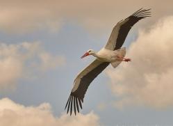 european-white-stork-copyright-photographers-on-safari-com-8280