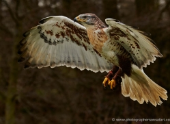 ferruginous-buzzard-560-bedford-copyright-photographers-on-safari-com