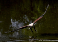fish-eagle-538-bedford-copyright-photographers-on-safari-com