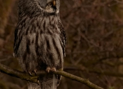 great-grey-owl-559-bedford-copyright-photographers-on-safari-com