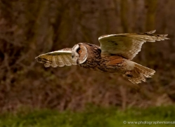 long-eared-owl-551-bedford-copyright-photographers-on-safari-com