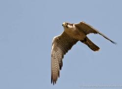 peregrine-falcon-578-bedford-copyright-photographers-on-safari-com