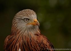 red-kite-557-bedford-copyright-photographers-on-safari-com