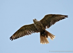 saker-falcon-580-bedford-copyright-photographers-on-safari-com