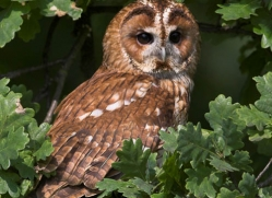 tawny-owl-541-bedford-copyright-photographers-on-safari-com