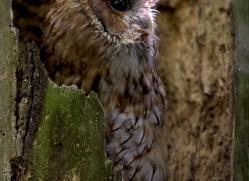 tawny-owl-542-bedford-copyright-photographers-on-safari-com
