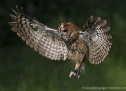 tawny-owl-544-bedford-copyright-photographers-on-safari-com