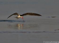 African Skimmer 2014-1copyright-photographers-on-safari-com