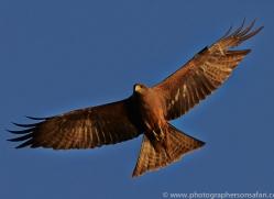 Black Kite 2014-4copyright-photographers-on-safari-com