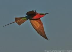 Carmine Bee-eater 2014-3copyright-photographers-on-safari-com