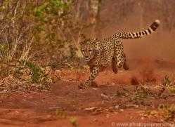 Cheetah 2014-9copyright-photographers-on-safari-com