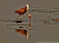 Jacana 2014-1copyright-photographers-on-safari-com