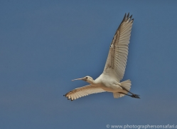 Spoonbill 2014-2copyright-photographers-on-safari-com