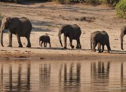 african-elephant-4457-botswana-copyright-photographers-on-safari