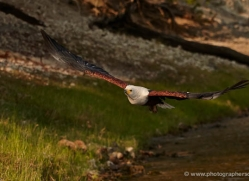 african-fish-eagle-4311-botswana-copyright-photographers-on-safari