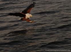 african-fish-eagle-4312-botswana-copyright-photographers-on-safari