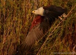 african-fish-eagle-4318-botswana-copyright-photographers-on-safari