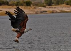 african-fish-eagle-4322-botswana-copyright-photographers-on-safari