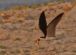 african-skimmer-4327-botswana-copyright-photographers-on-safari