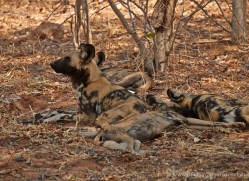 african-wild-dogs-4338-botswana-copyright-photographers-on-safari
