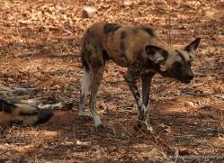 african-wild-dogs-4339-botswana-copyright-photographers-on-safari