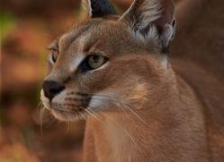 caracal-4345-botswana-copyright-photographers-on-safari