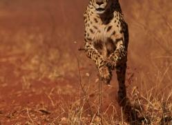 cheetah-4369-botswana-copyright-photographers-on-safari