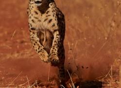 cheetah-4372-botswana-copyright-photographers-on-safari