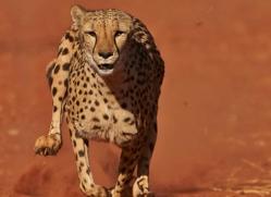 cheetah-4376-botswana-copyright-photographers-on-safari