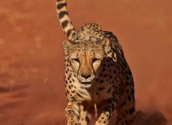 cheetah-4378-botswana-copyright-photographers-on-safari