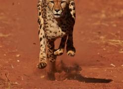 cheetah-4379-botswana-copyright-photographers-on-safari