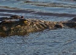 crocodile-4384-botswana-copyright-photographers-on-safari