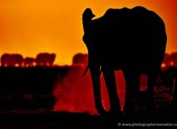 elephant-at-sunset-4409-botswana-copyright-photographers-on-safari