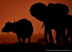 elephant-at-sunset-4413-botswana-copyright-photographers-on-safari