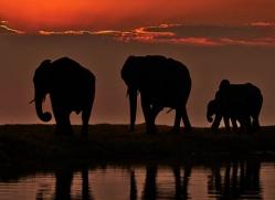 elephant-at-sunset-4427-botswana-copyright-photographers-on-safari