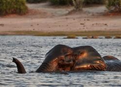 elephant-at-sunset-4428-botswana-copyright-photographers-on-safari