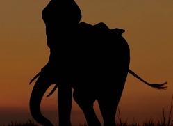 elephant-at-sunset-4443-botswana-copyright-photographers-on-safari
