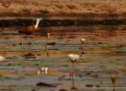jacana-4560-botswana-copyright-photographers-on-safari