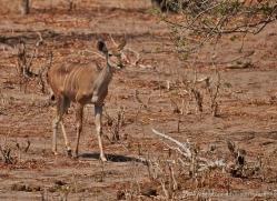 kudu-4503-botswana-copyright-photographers-on-safari
